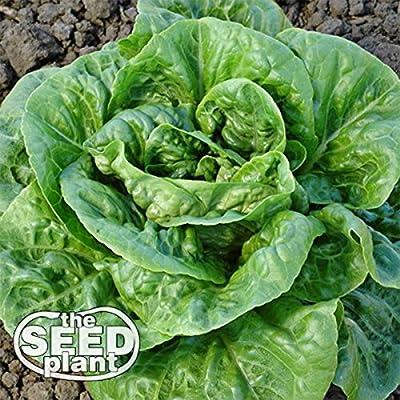 Bibb Lettuce Seeds - 1, 000 Seeds Non-GMO : Garden & Outdoor