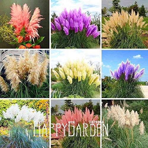 Seed Time-Limit!!Pampas Grass Bonsai Patio and Garden Potted Ornamental Plants New Flowers Flores 500 Pcs/lot #r7qjnk