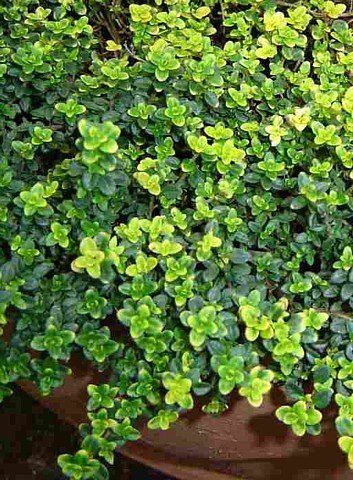 "Gold Lemon Thyme Plant - Bright Golden-Edged Leaves - Live Plant - 4"" Pot"