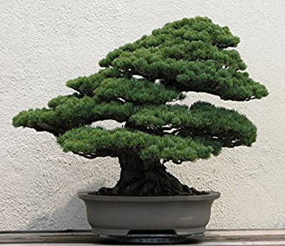 10 Pinus Armandii Seeds (Chinese White Pine Tree) Bonsai