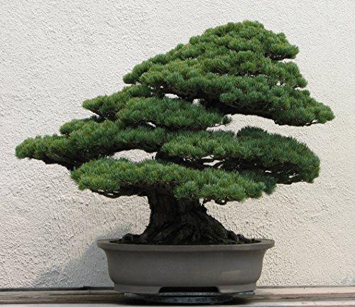 10 Pinus Armandii Seeds (Chinese White Pine Tree) Bonsai