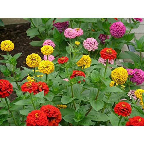 DAHLIA FLOWERED MIX ZINNIA Flower Seed Seeds - Zinnia Violacea DOME SHAPED - Mutli-petaled and VERY Double - Zone 3 - 10 (00180 Seeds - Pkt) for cheap