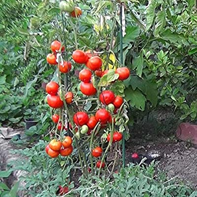 Gaweb Easy to Plant,80Pcs Tomato Seeds Home Garden Yard Delicious Nutritious Vegetable Plant Tomato Seeds 80pcs: Home & Kitchen