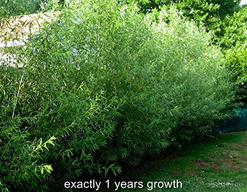15-austree-hybrid-willow-trees-fastest-growing-tree-over-12-feet-first-season-bonus-free-pandoras-bo