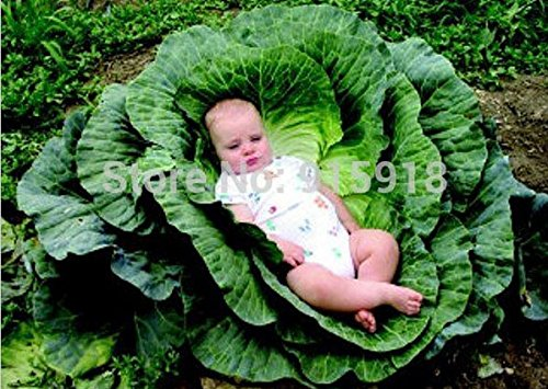Vegetable Seeds 200 Pcs Giant Cabbage Seeds,a Favorite Choice for Homemade Sauerkraut, Very Late Variety Largest of All Cabbage.