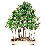 Brussel's Bonsai Trident 15 Tree Maple Grove