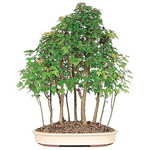 Brussel's Live Trident Maple Grove Outdoor Bonsai Tree - 10 Years Old; 20