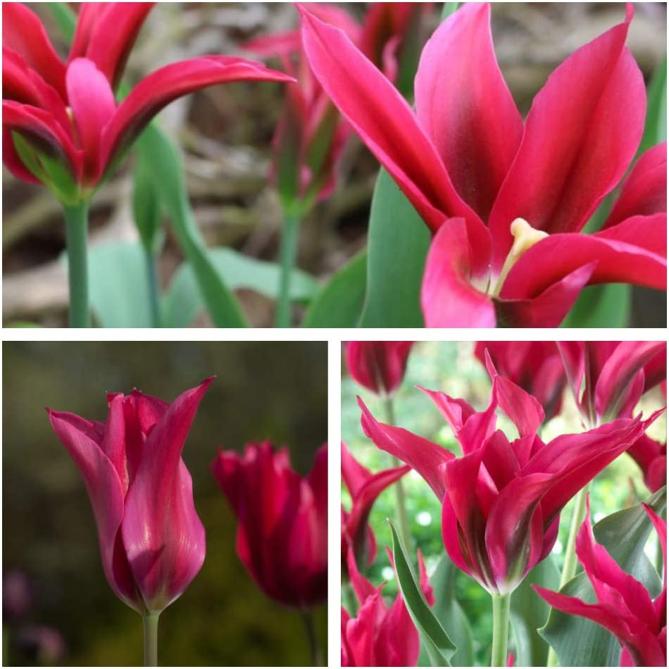 Humphreys Garden/® Vridiflora Tulip Dolls Minuet Bulbs Size 10//11 10