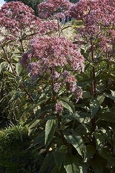 Eupatorium maculatum Atropurpureum Avvistato Joe PYE Weed 20 Semi