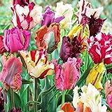 10 Parrot Mix Tulip Bulbs - Tulipa Parrot