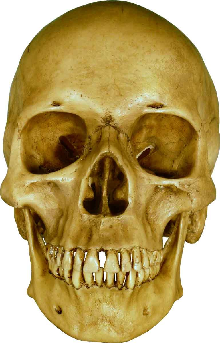 Life Size Model Human Skull Replica Aged Earth-Brown Relic - Life Size Reproduction by Nose Desserts Brand