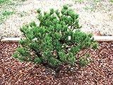 Spaans Dwarf Lodgepole Pine 3 - Year Live Plant