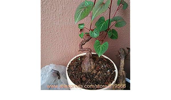 Real Chinese Frijol Negro Polygonum multiflorum semillas He Shou Wu interior Plantas Bonsai Jardín de Hierbas Fo-Ti Sementes: Amazon.es: Jardín