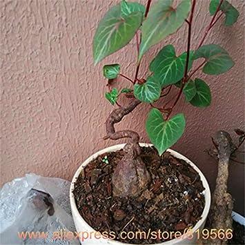 Real Chinese Frijol Negro Polygonum multiflorum semillas He Shou Wu interior Plantas Bonsai Jardín de Hierbas