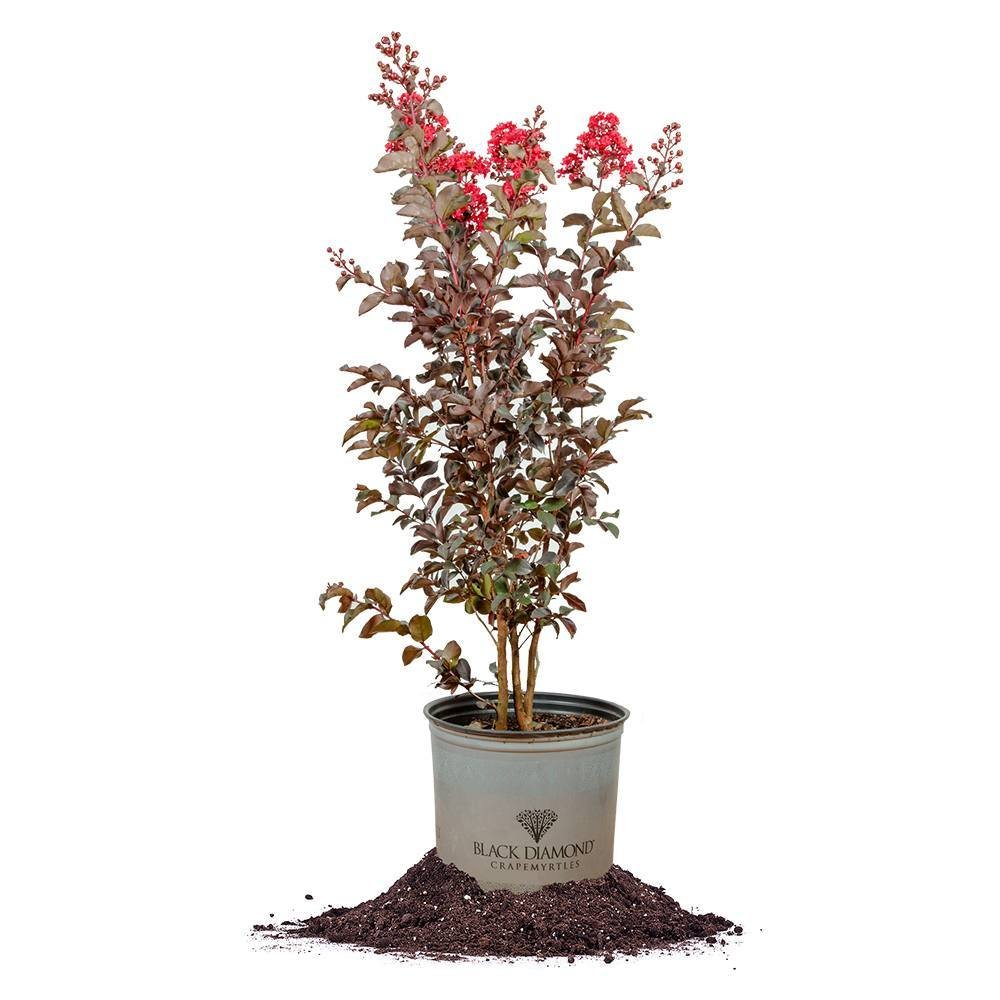 Black Diamond Best RED Crape Myrtle - Size: 3 Gallon, Live Plant, Includes Special Blend Fertilizer & Planting Guide