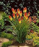Fackellilie Samen/100 Stück/Kniphofia uvaria/Raketenblumen/mehrjährig/auffällige Blütenkerzen