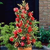 #1138--25 CRIMSON BOTTLE BRUSH SEEDS