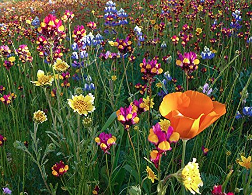 Wildflower Perennial Seeds Mix (Blend of 17 Various Perennial Wildflowers) - 600+ Premium Quality Open Pollinated Seeds, Beautiful for your home landscaping! (Isla's Garden Seeds),90% Germination Rate