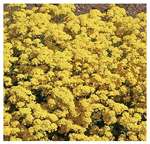 3500 Basket of Gold Seeds  Perennial for Borders Beds Rock Gardens Ground Cover