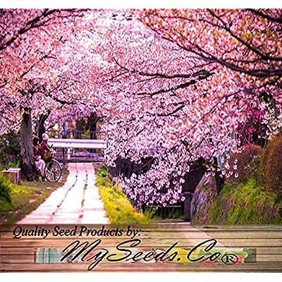 Risalana 8 x Japanese Sakura Flowering Cherry Tree Seed - Prunus serrulata Seeds - Cherry Blossom - Zones 5-8 : Garden & Outdoor