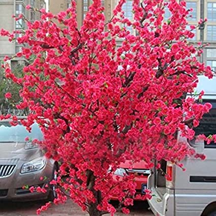 amazon com 10 pcs red japanese cherry blossoms seeds courtyard