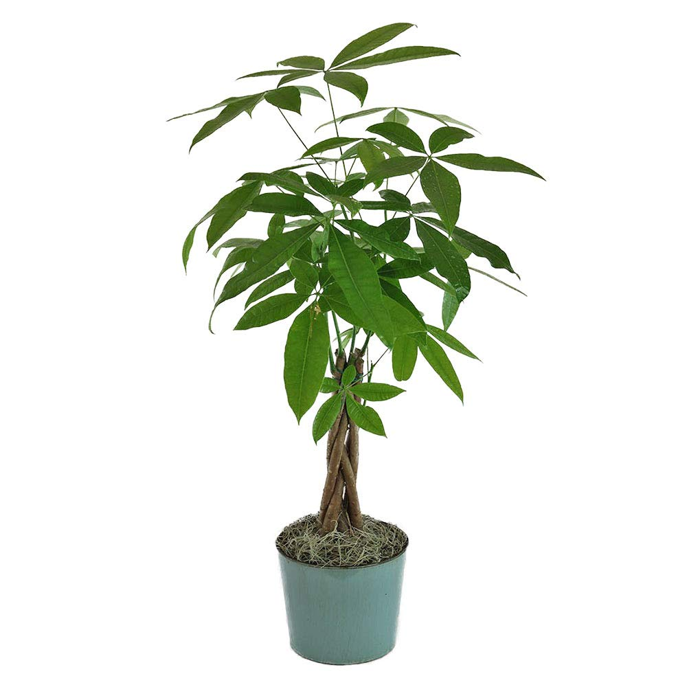 AMPLEX Money Tree Easy-to-Grow Live Plant, 4'' Pot 1.5' Tall, Indoor/Outdoor Air Purifier