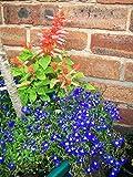 The Dirty Gardener Lobelia Erinus Half Moon Flowers - 200 Seeds
