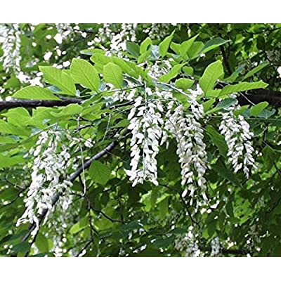 American Yellowwood, Cladrastis Kentukea, Tree 10 Seeds : Garden & Outdoor