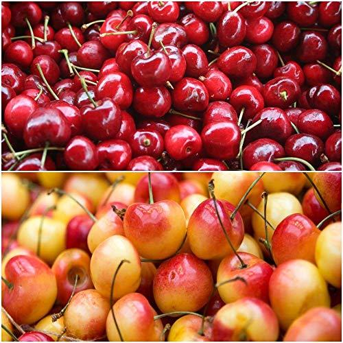 Double Cherry Twist Tree - 2 Unique Cherry Varieties Growing on 1 Tree!