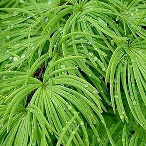 Pseudolarix semillas, semillas de pino dinero árbol bonsai paisaje semillas de plantas jardín de DIY Bonsai - 20 PC / porción: Amazon.es: Jardín