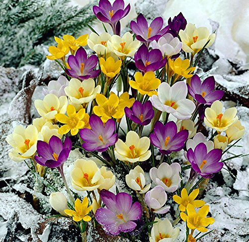 Crocus Collection - 3