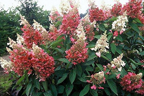 Pinky Winky Hydrangea Bush - Potted - Proven Winners - 4