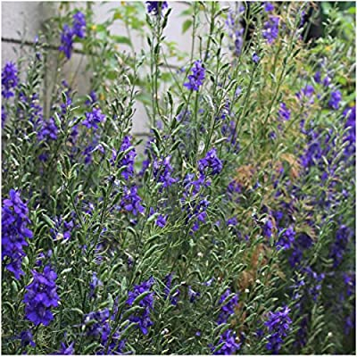 Package of 600 Seeds, Catmint Herb (Nepeta mussinii) Non-GMO Seeds By Seed Needs