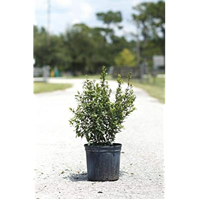 Myrcianthes fragrans, Simpson's Stopper - 7 Gallon Live Plant : Garden & Outdoor