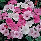 "Organic Flower seeds Lavatera trimestris ""Mix"". Pink White Mallow. 170 seeds."