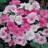 "Organic Flower seeds Lavatera trimestris ""Mix"". Pink White Mallow. 170 seeds."