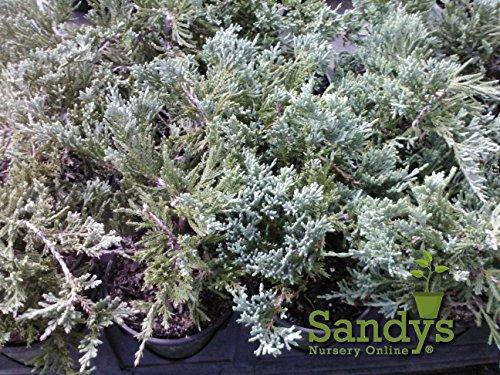 Sandys Nursery Online Juniper Blue Rug Ground Cover ~Lot of 30~4 inch Pot by Sandys Nursery Online (Image #2)