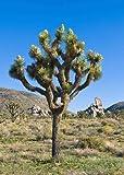 TROPICA - Joshua Tree (Yucca brevifolia) - 10 Samen
