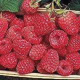 Encore Raspberry - 5 Golden Raspberry Plants - Everbearing - Organic Grown -