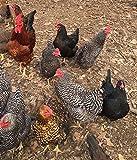 Barnyard Mix Fertile Chicken Hatching Eggs Raised