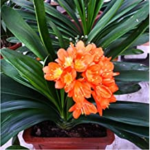 50 pcs / bag ,Clivia seeds, potted seed, flower seeds, variety complete, the budding rate 95%, (Mixed colors)