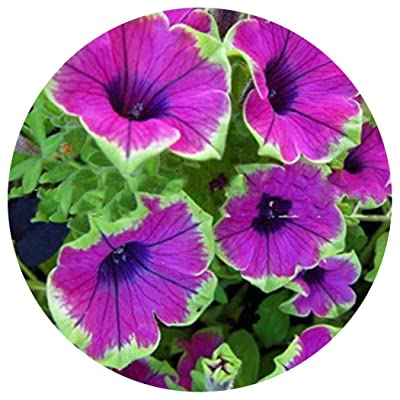Lioder 100Pcs Rare Morning Glory Seed Heirloom Bonsai Flower Seeds Beautiful Premium Plant Seeds for Garden Planting, Non-GMO Seeds 11 Different Color : Garden & Outdoor