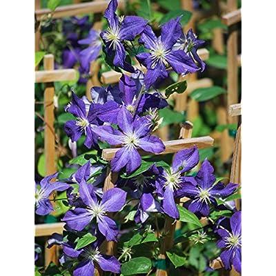 Perennial Farm Marketplace (Clematis x 'Jackmanii') Vine, 4 Quart, Purple Flowers : Garden & Outdoor