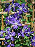 Perennial Farm Marketplace ((Clematis x 'Jackmanii') Vine, 4 Quart, Purple Flowers