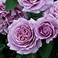 "Love Song Rose Bush Reblooming Purple Floribunda Very Fragrant Rose Grown Organic 4"" Potted - 35+ Petal Flowers!"