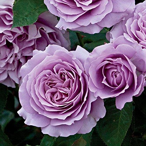 Purple Rose Plants - 3