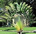 Travelers Palm Tree Seeds 15 Seeds Upc 646263362679