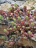Perennial Farm Marketplace Sedum spurium 'Fuldaglut' (Stonecrop) Groundcover, 1 Quart, Deep Red Flowers