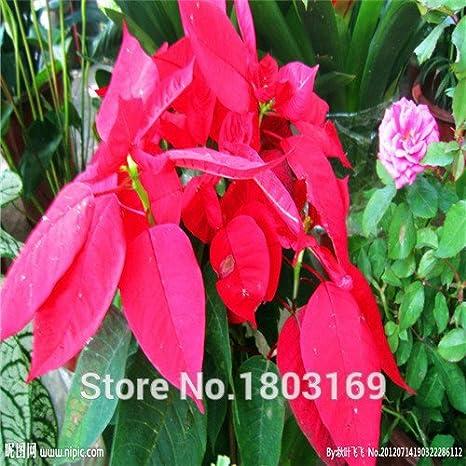 Stella Di Natale Pianta.100 Pc Sacchetto Semi Di Stella Di Natale Euphorbia Pulcherrima
