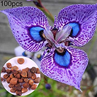 Dserw 100pcs Flower Iris German Seed Ornamental Plant Family Garden Yard Office Decoration : Garden & Outdoor